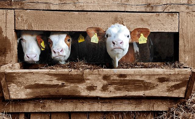 家畜のいる農場で生活すると、アレルギー性鼻炎の発症が少なくなるかもしれない