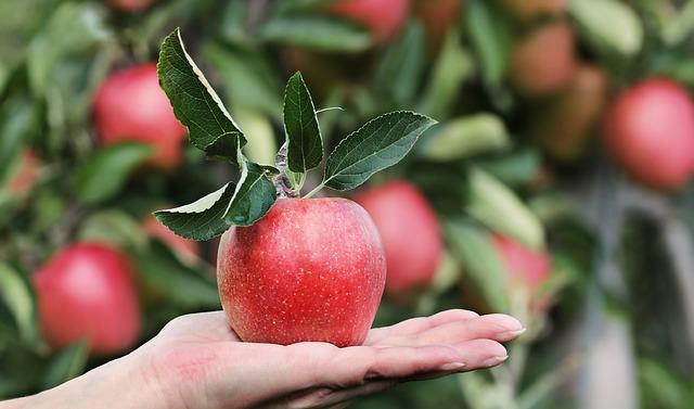 リンゴアレルギーでも、経口免疫寛容は誘導できるかもしれない