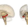 海馬 (脳) - Wikipedia