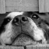 児の出生前からのイヌ飼育はアトピー性皮膚炎発症に予防的に働くかもしれない: 出生