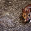 ネズミの徹底した駆除と駆除教育は、喘息を改善するか?